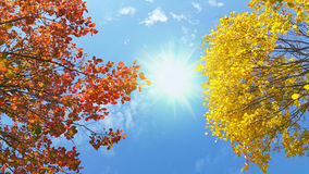 Bright yellow and red branches of autumn tree on sunny blue sky Stock Photos