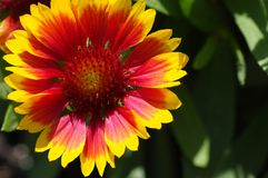 Bright yellow and red flower in the sun. Shine waiting for a bee to feed Royalty Free Stock Image