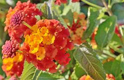 Bright yellow-red flowers. Bloom on a bush branch royalty free stock images