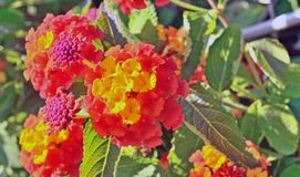 Bright yellow-red flowers. Bloom on a bush branch royalty free stock photos