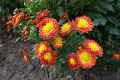 Bright yellow and red flowers of Chrysanthemum. Bush Royalty Free Stock Image