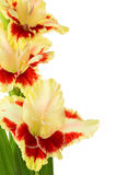 Bright yellow and red gladiolus isolated  vertical Royalty Free Stock Photography