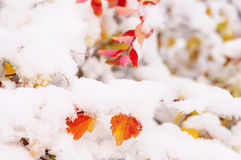 Bright yellow and red leaves covered in snow. Bright yellow and red leaves covered with fluffy snow-white snow weightless. Lovely view of the winter park, garden Stock Image