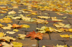 Bright yellow and red maple leaves on the pavement wet after rain Stock Photo