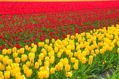Bright yellow and red tulip rows during sunny day Royalty Free Stock Photo