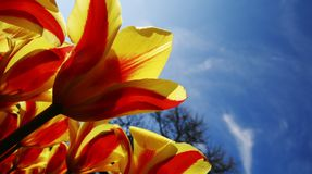 Bright Yellow Red Tulips. Against a Blue Sky Royalty Free Stock Photo