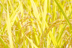 Bright yellow rice plant Royalty Free Stock Photography