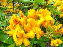 Bright yellow rodendron in a city park on a sunny day royalty free stock image