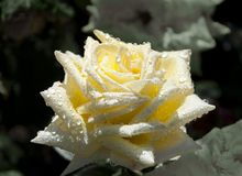 Bright yellow rose with dew drops. Stock Images