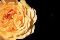 Bright yellow rose isolated against a black background stock photo
