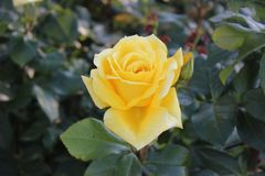 Bright yellow rose - the joy of the gardener stock images