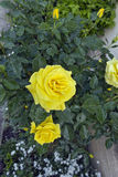 Bright yellow roses. Royalty Free Stock Photo