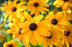 Bright yellow rudbeckia or Black Eyed Susan flower Royalty Free Stock Images