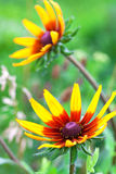 Bright yellow rudbeckia or Black Eyed Susan flower in the garden Stock Photography