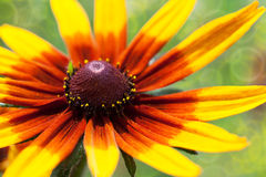 Bright yellow rudbeckia or Black Eyed Susan flower in the garden Royalty Free Stock Photo