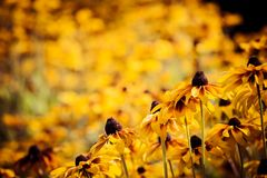 Bright yellow rudbeckia or Black Eyed Susan flowers in the garden Stock Image