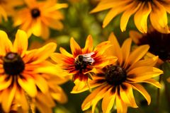 Bright yellow rudbeckia or Black Eyed Susan flowers in the garden Royalty Free Stock Photo