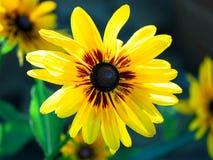 Bright yellow rudbeckia Stock Photos
