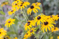 Bright yellow rudbeckia or Black Eyed Susan Stock Photography