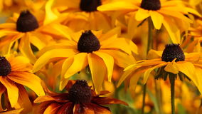 Bright yellow rudbeckia or Black Eyed Susan flowers in the garden stock video footage
