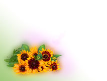Bright yellow rudbeckia or Black Eyed Susan flowers isolated Royalty Free Stock Images