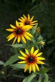 Bright yellow Rudbeckia flowers Stock Photography