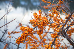 Bright yellow sea buckthorn berries in winter season Royalty Free Stock Photo