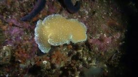 Bright yellow sea slug and starfish underwater in ocean of Alaska. stock footage