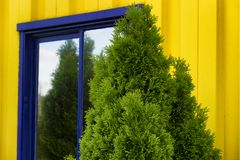 Bright Yellow Siding with blue framed window and evergreen shrub. Abright yellow building with a blue framed window compliments an evergreen shrub stock images