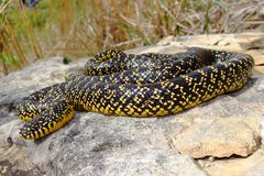 A bright yellow Speckled Kingsnake (King Snake) Royalty Free Stock Image