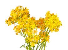Bright yellow flowers of cressleaf groundsel isolated on white Stock Photos