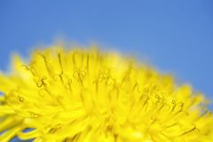 Bright yellow spring sunny dandelion flower close-up covered honey pollen grows in a spring clear sunny day against a blue sky. Yellow spring sunny dandelion royalty free stock images