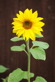 Bright yellow sun flower Stock Photography