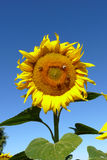 Bright yellow sunflower Royalty Free Stock Images
