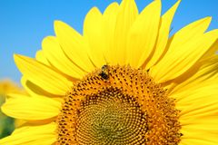 Bright yellow sunflower Stock Photo