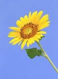 Bright yellow sunflower Stock Images