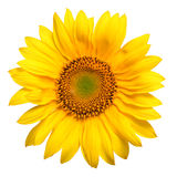 Bright yellow sunflower Stock Photos