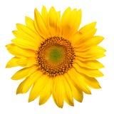 Bright Yellow Sunflower Stock Photos