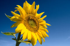 Bright yellow sunflower Stock Photography