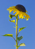 Bright yellow sunflower against a deep blue sky Stock Photos