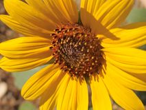 Bright Yellow Sunflower Royalty Free Stock Photography