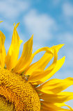 Bright yellow sunflower with a bee Royalty Free Stock Photo
