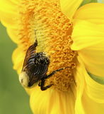 Bright yellow sunflower with bee Stock Images