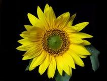 Bright yellow sunflower on black Stock Image