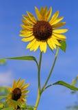 Bright yellow sunflower Royalty Free Stock Photo