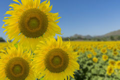 Bright yellow Sunflower and blue sky.  royalty free stock images