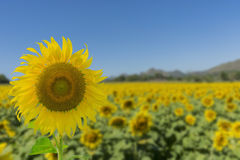 Bright yellow Sunflower and blue sky.  stock photos