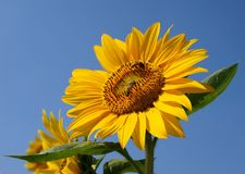 Bright Yellow Sunflower and Blue Sky Stock Images