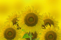 Bright yellow Sunflower and bright yellow background.  royalty free stock photography