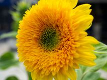 Bright yellow sunflower - closeup. Shot Royalty Free Stock Images